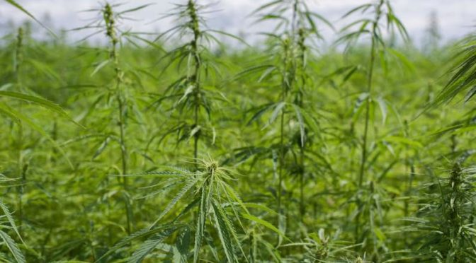 Industrial hemp rule delays may mean no Butte County crop this year