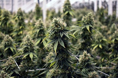 New Coalition Launches to End Cannabis Prohibition, Bridge Across Ideological, Party Lines