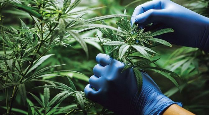 US DEA moves to expand cannabis for research